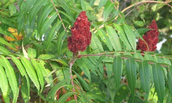sumac plant